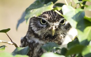 A little owl glaring at the camera through foliage.