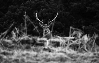 A stag in the dusk in Glen Lyon.