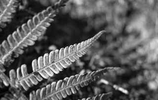 A black and white image of details on a fern in the forest.