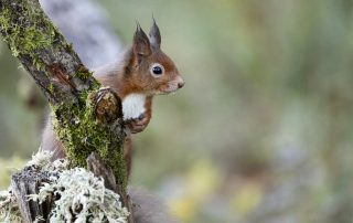 A red squirrel scans the nearby woodland.