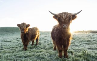 Two highland cows looking at the camera as the sun rises.